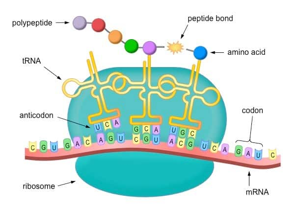 How genes direct the production of polypeptides  JB s Blog